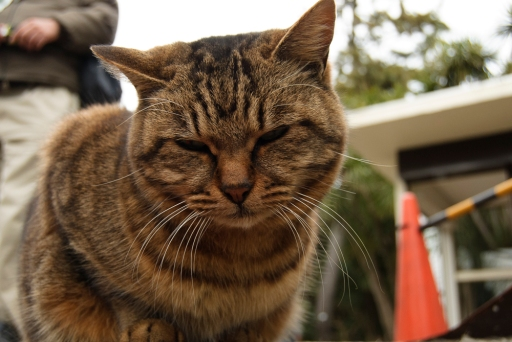 One of many feral cats living on Enoshima